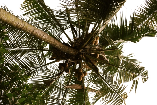 let there be coconuts